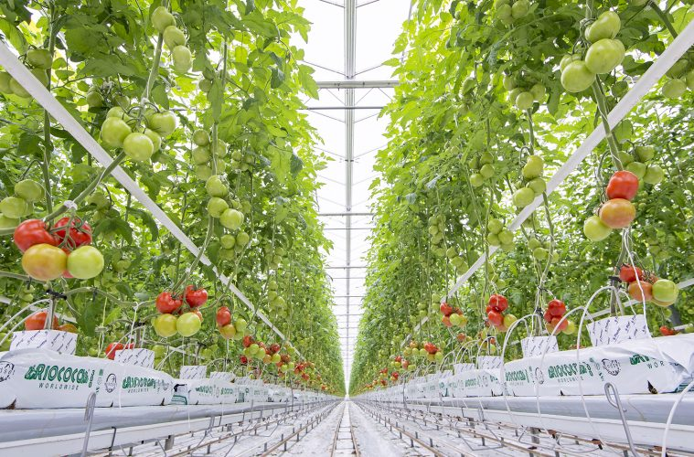 Tomatoes grown with hydroponics at Windset Hothouse in Delta, British Columbia, Canada