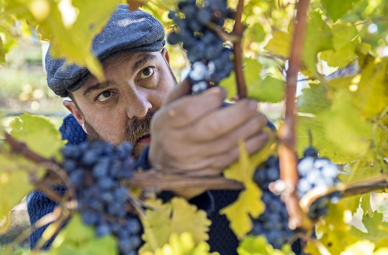A winemaker checks his grapes before harvest in Kelowna, British Columbia, Canada