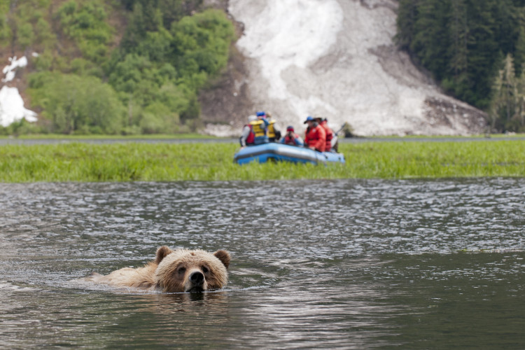 A male Grizzly Bear (Ursus Arctos) crosses the estuary as tourists look on in the Khutzeymateen protected area, Northeast of Prince Rupert in the Northern BC region of Canada