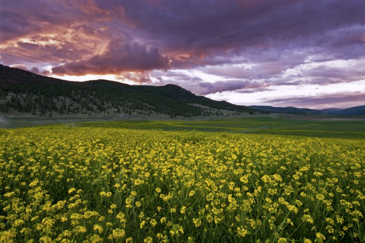 Mustard seed and a brilliant sunset near Merritt, Thompson Okanagan region of BC, Canada