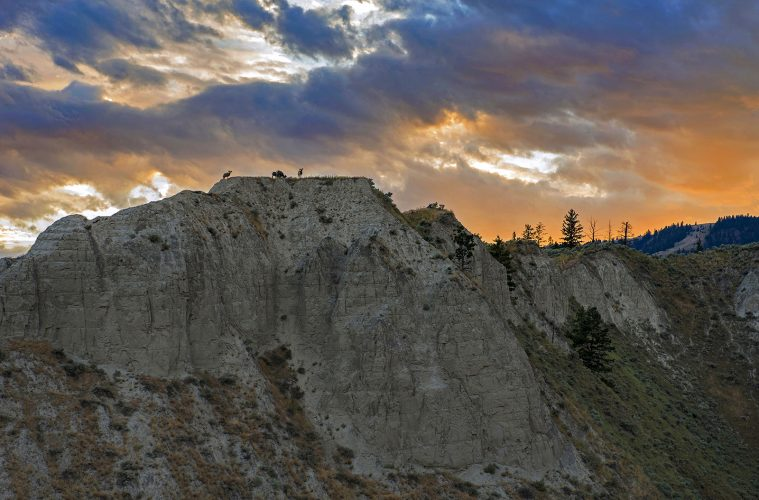Desert Bighorn Sheep feed at sunset on a ridge top near Kamloops, British Columbia, Thompson Okanagan region, Canada