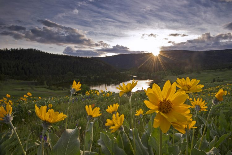 Balsamroot flowers at sunset over Lac Du Bois, Thompson Okanagan region, BC, Canada