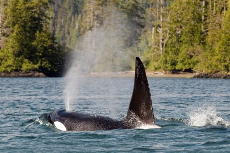killer whale or orca (orcinus orca) comes up for air in Gwaii Haanas National park, Haida Gwaii, British Columbia, Canada