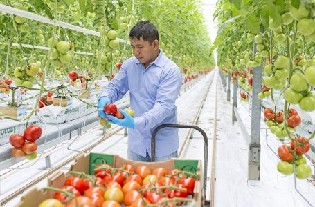 A worker harvests tomatoes from a ripe vine at Windset Farms, Delta, British Columbia, Canada