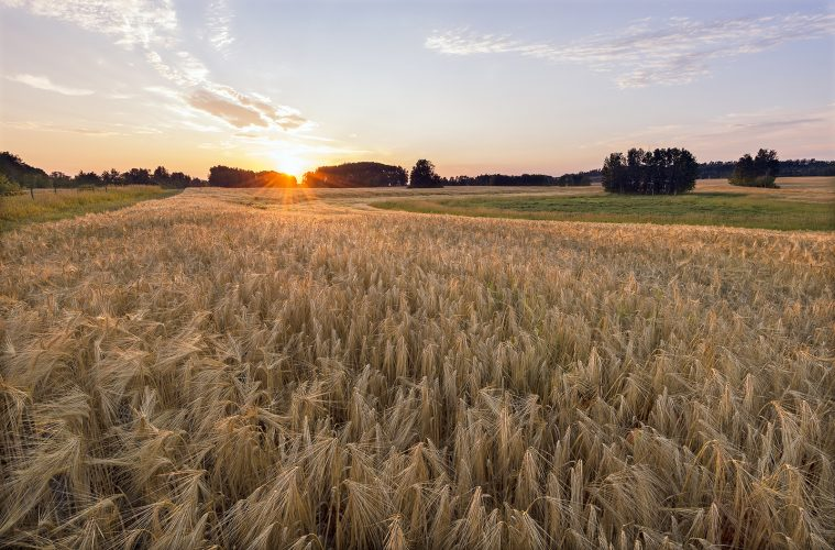 Barley is grown as a crop for export in Vanderhoof, British Columbia, Canada