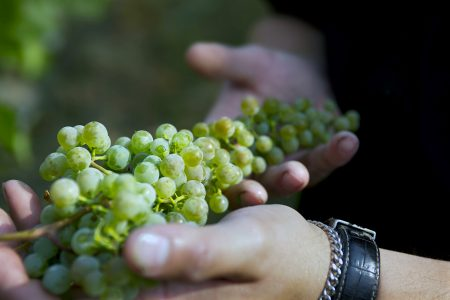 A wine maker holds and tests grapes at a winery in Kamloops, Thompson Okanagan region of British Columbia, Canada