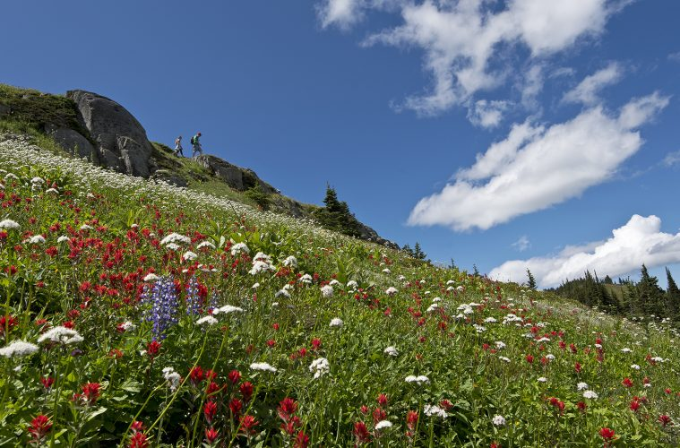hiking in wild flowers, at Sun Peaks Resorty, north of Kamloops, Thompson Okanagan region, British Columbia, Canada