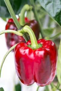 Red Peppers grown with hydroponics at West Coast Hothouse in Delta, British Columbia, Canada