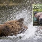 Grizzly bears in the Khutzeymateen Valley, British Columbia, Canada
