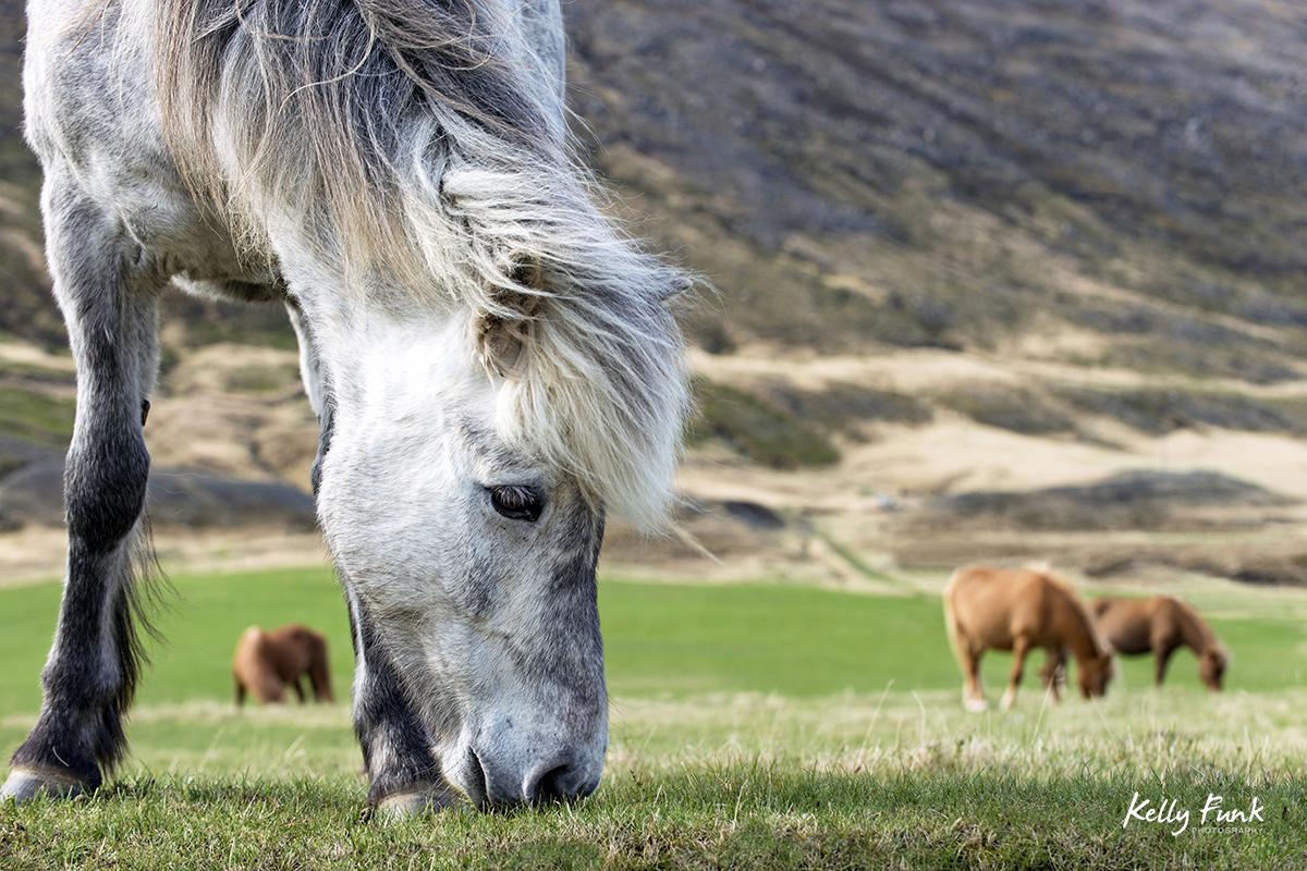 Icelandic horses, Iceland, Europe