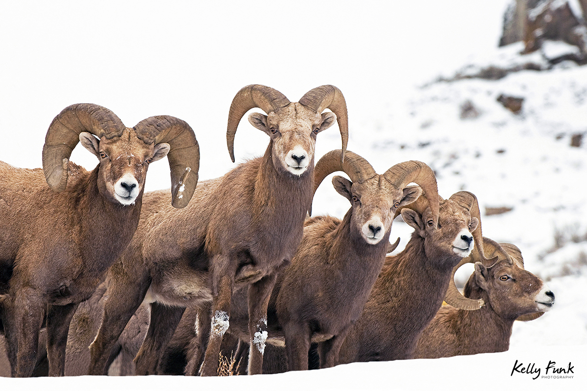 A group of Bighorn Sheep rams pose for a portrait near Kamloops, Thompson Okanagan region, British Columbia, Canada