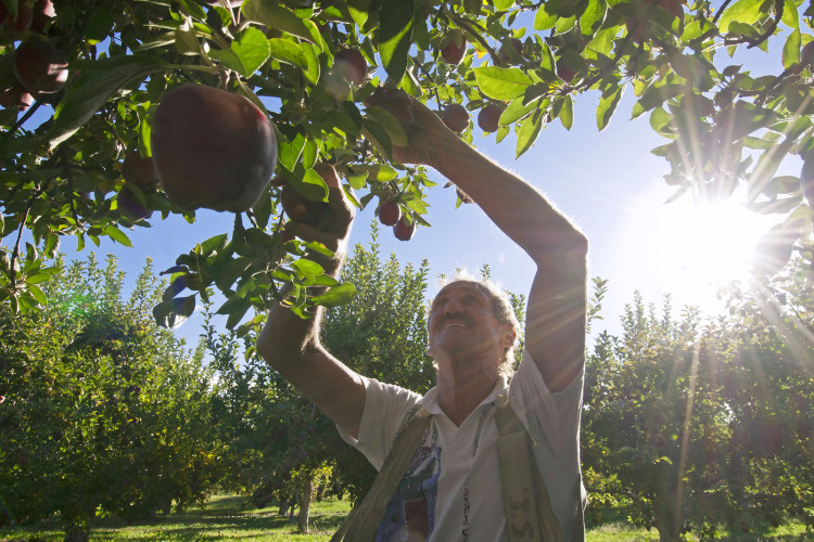 An apple picker collects the crop at harvest time at Summerland, British Columbia, Okanagan region, Canada
