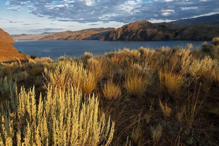 Sage in the foreground of Kamloops Lake, Thompson Okanagan region, BC, Canada