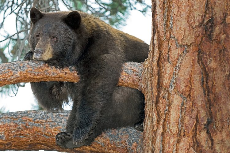 Cinammon Black Bear sow resting in a tree during a tourism shoot, south of Kamloops, British Columbia, Canada
