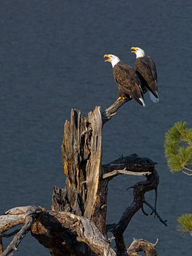Two bald eagles communicate at the top of a dead pine tree near Kamloops, British Columbia, Thompson Okanagan region, Canada