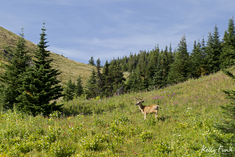 Hiking in the flowers, wildlife, deer, Sun Peaks resort, Kamloops, BC, Canada, commercial photographer, Kamloops photographer, professional, leisure activity, outdoors, nature