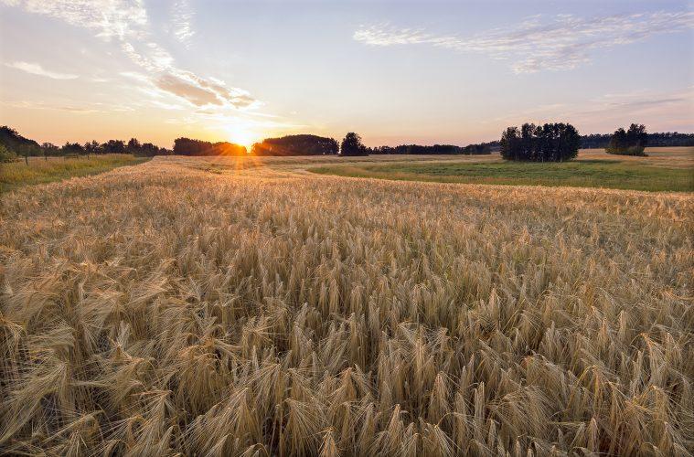Barley is grown as a crop for export in Vanderhoof, British Columbia, Canada