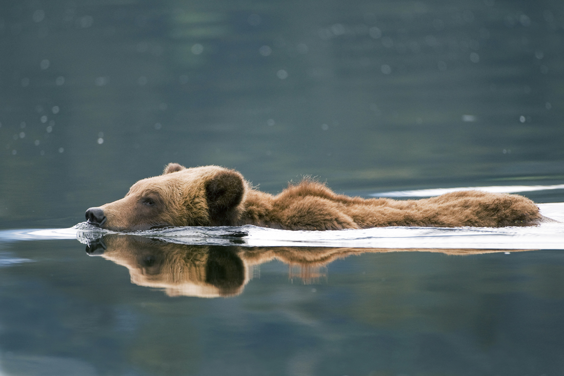 A Grizzly bear swims in the estuary in the Khutzeymateen Valley, British Columbia, Canada
