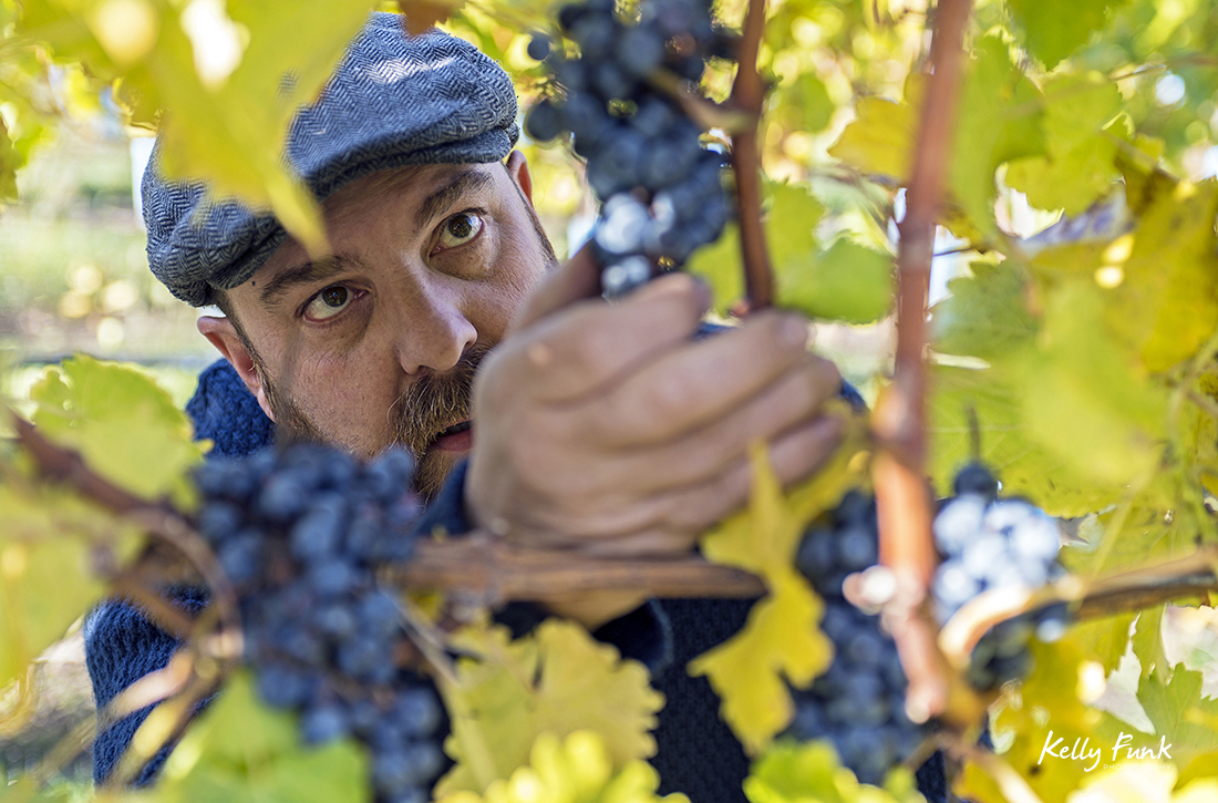 A wine maker tests the year's harvest for ripeness, Indigenous World Winery, Kelowna, British Columbia, Canada