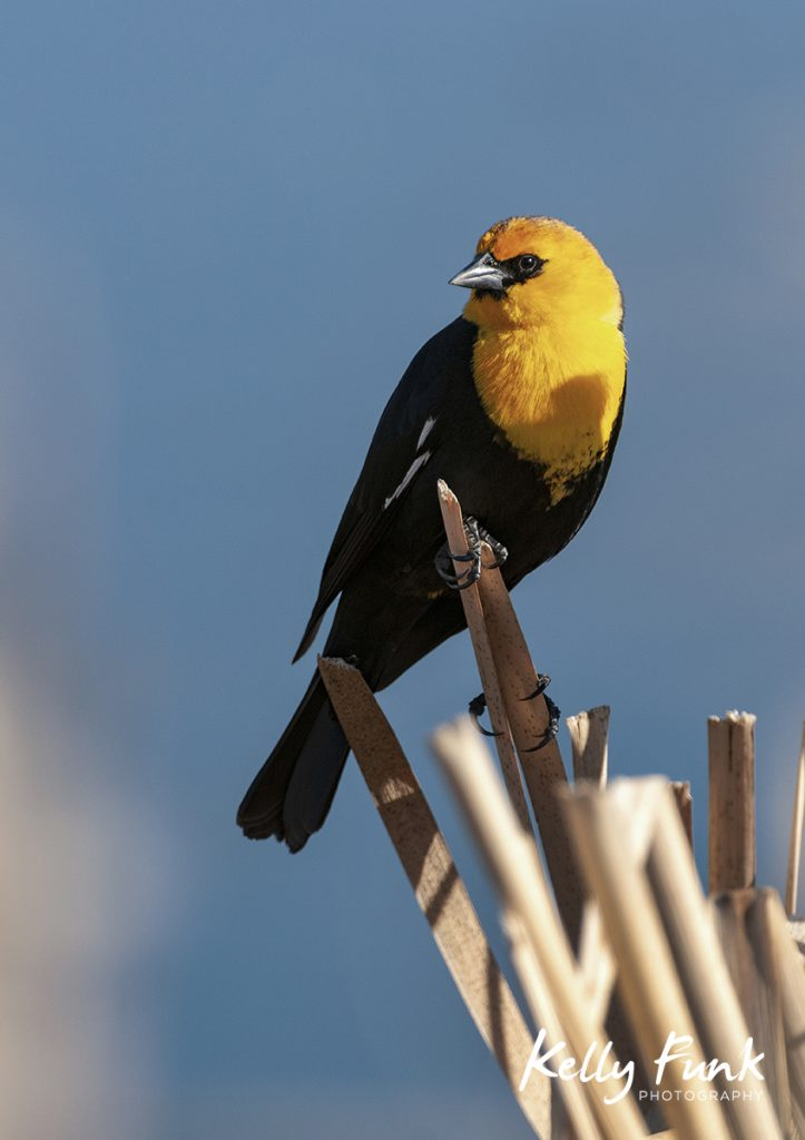 Yellow Headed Blackbird, Kamloops, BC