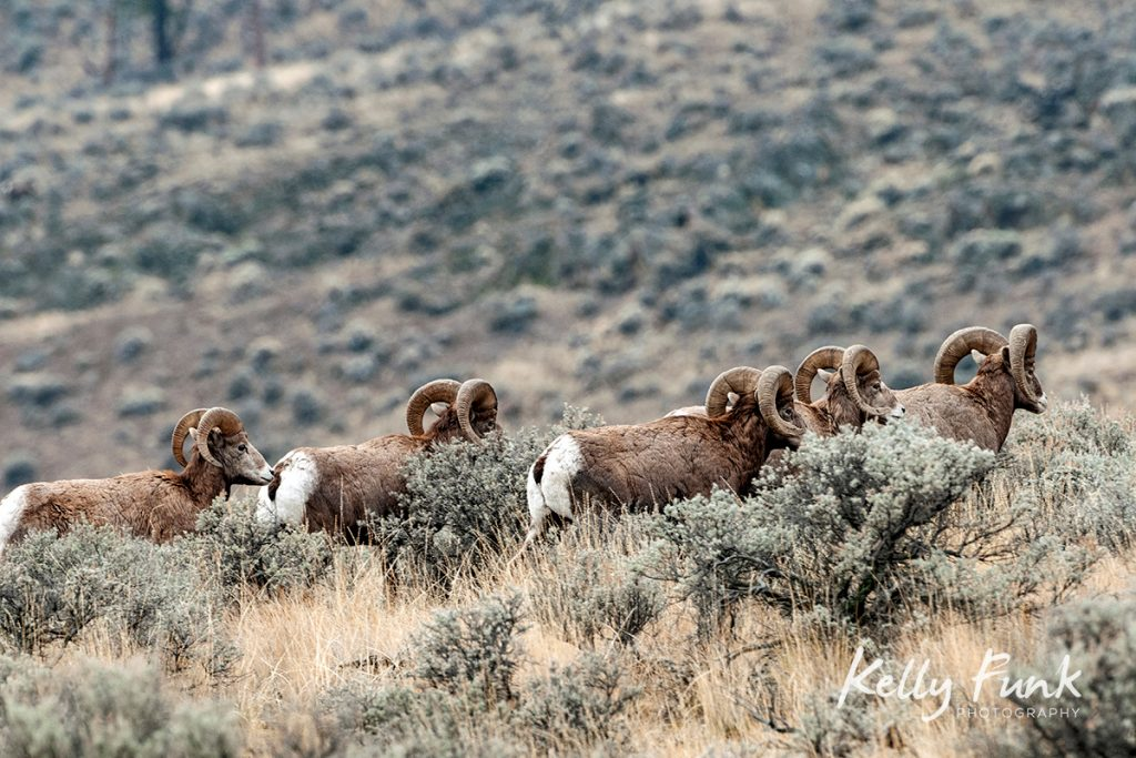 California Desert Bighorn Sheep, Lac du Bois protected Grasslands, British Columbia, Canada