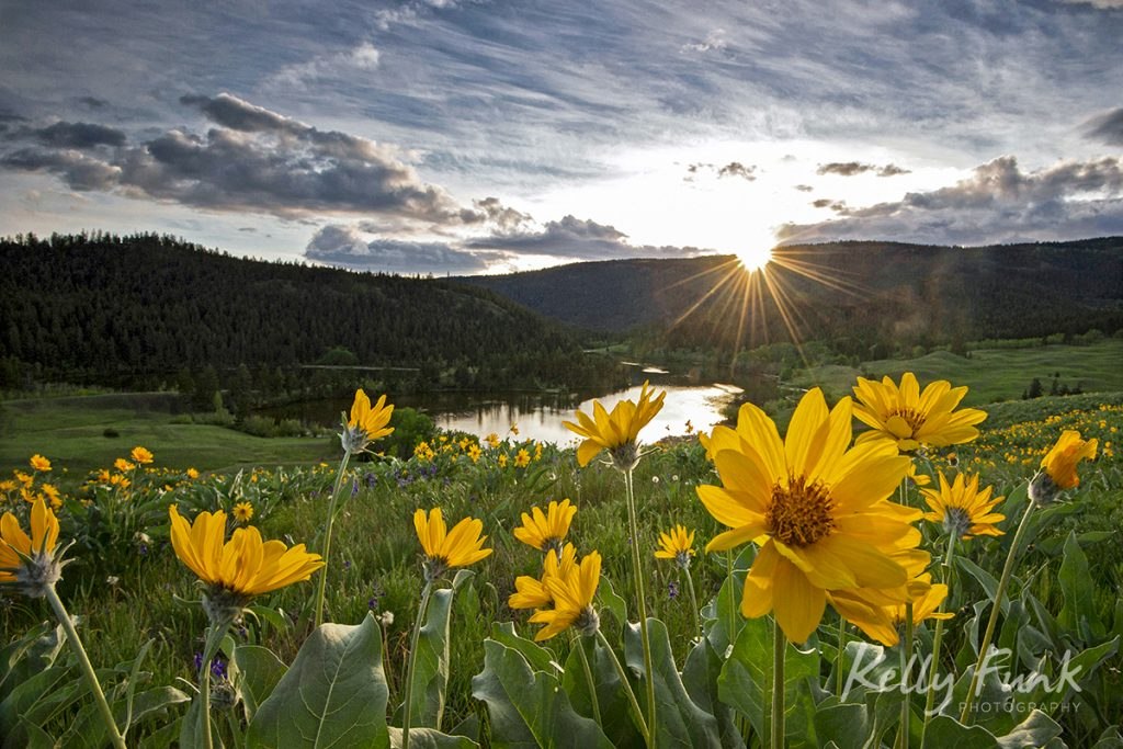 Balsamroot flowers at sunset at Lac du Bois Provincial Park, near Kamloops, British Columbia, Canada