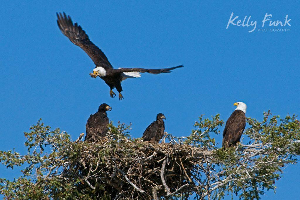 A family of Bald Eagles taken near Kamloops, British Columbia, Thompson Okanagan region, Canada