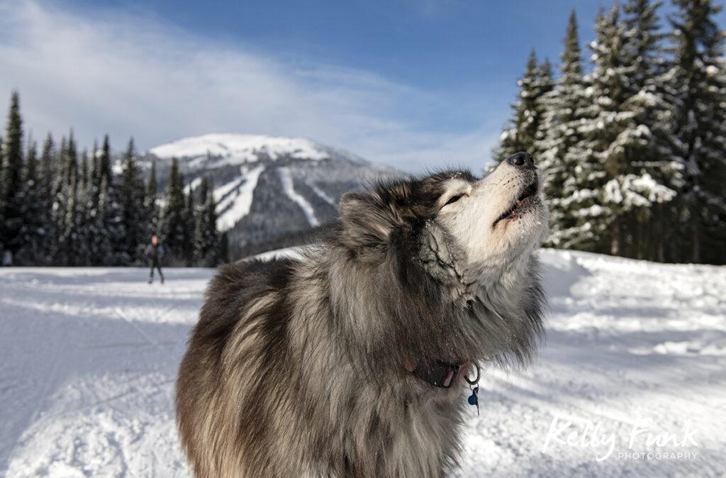 Sun Peaks dog